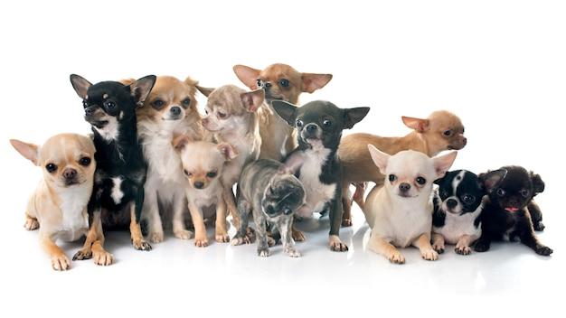 Chihuahua-hunde