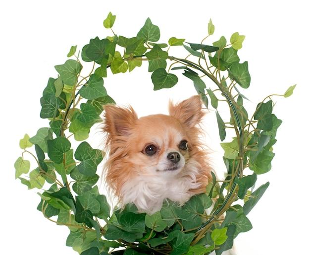 Chihuahua im efeu