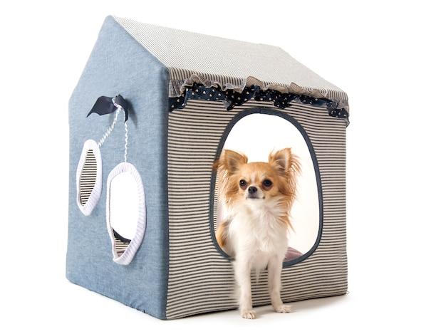 Chihuahua im haushund