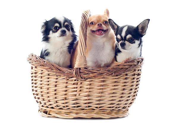 Chihuahua im korb getrennt