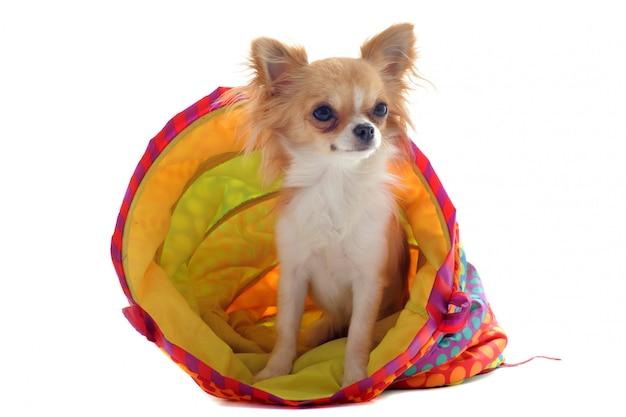 Chihuahua in einem bunten bett