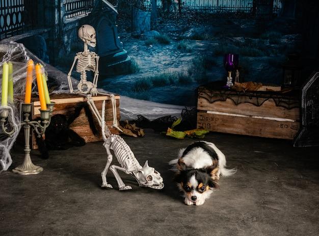 Chihuahua in einer halloween-umgebung mit skeletten