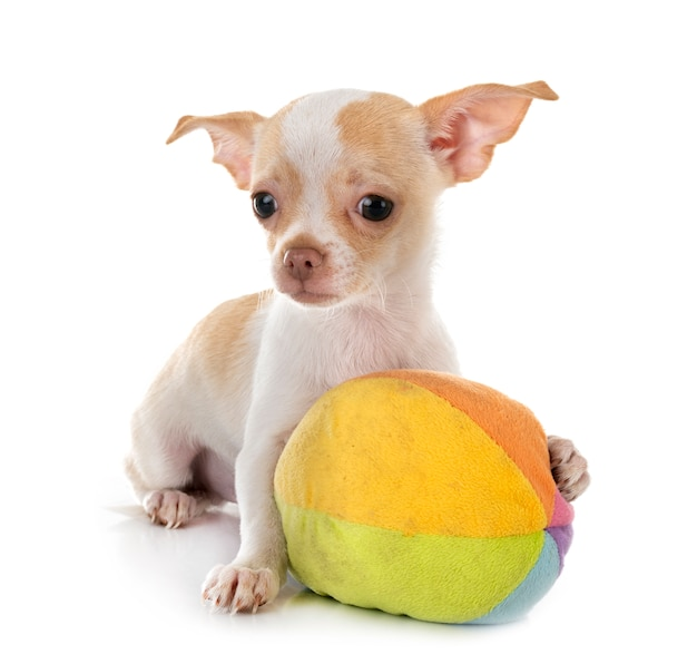 Chihuahua isoliert
