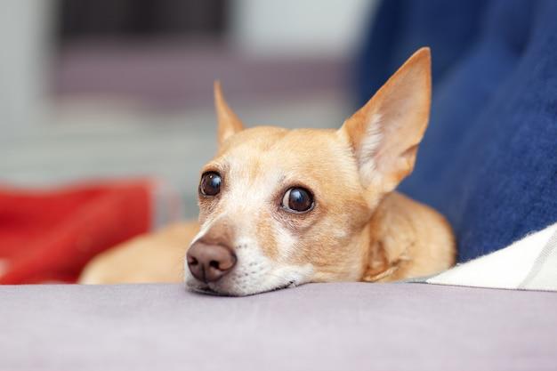 Chihuahua ist auf blauem sofa zu hause. schöner ingwerhund, der auf couch liegt. haustier ruht auf der couch. süßer hund. ruhiger kluger hund liegt auf bequemem sofa