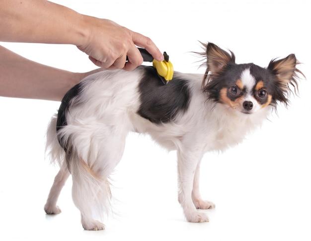 Chihuahua mit einem gelben pinsel gebürstet