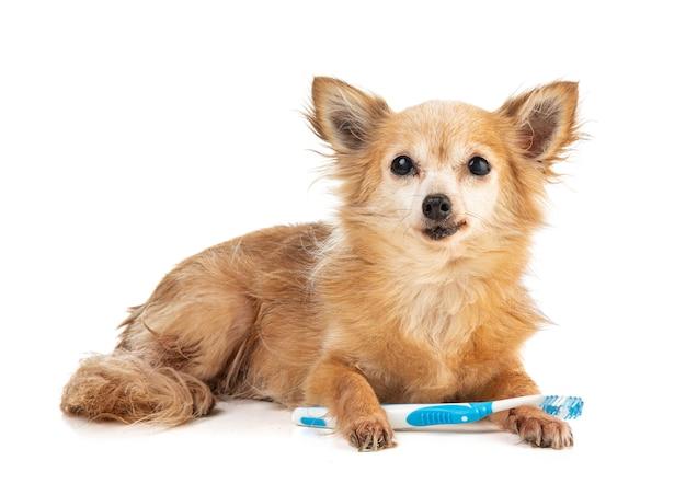 Chihuahua mit einer blauen zahnbürste im mund auf einem weißen lokalisierten