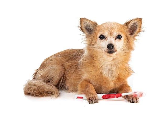 Chihuahua mit einer roten zahnbürste im mund auf einer weißen oberfläche