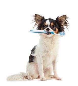 Chihuahua mit einer zahnbürste im mund auf einem weißen isoliert