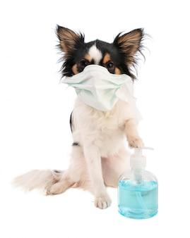 Chihuahua mit mundschutzmaske und hydroalkoholischem gel