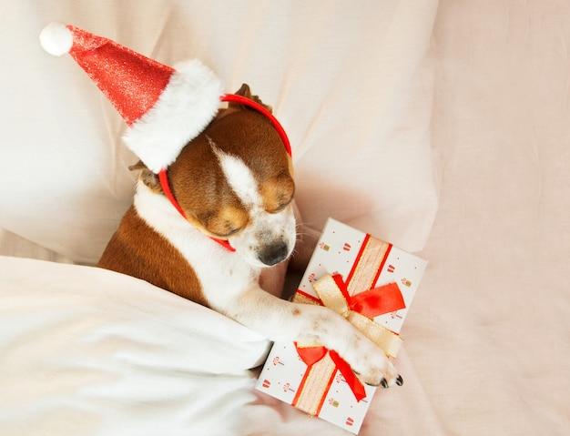Chihuahua-porträt im santa-hut-rand mit geschenk, das auf bett liegt. zu hause bleiben. entspannen. weihnachtsträume.