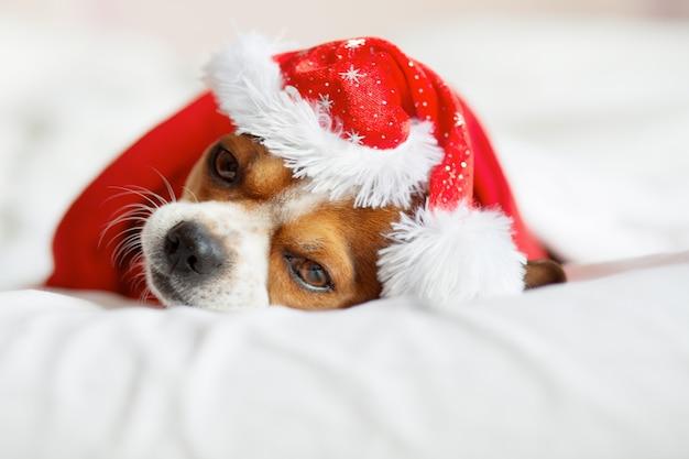Chihuahua-porträt in der weihnachtsmütze und im roten schal, die auf bett liegen. zu hause bleiben. entspannen. weihnachtsträume.