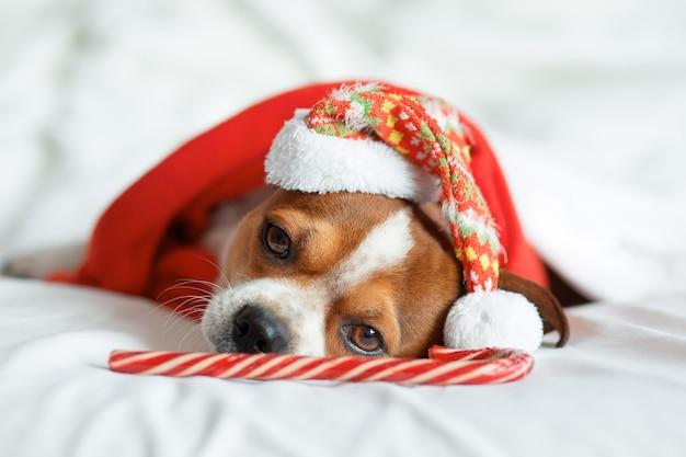 Chihuahua-porträt in der weihnachtsmütze und im roten schal mit lutscherstock, der auf bett liegt. zu hause bleiben. entspannen. weihnachtsträume.
