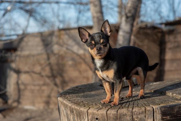 Chihuahua schwarz, braun und weiß. süßer welpe. mini rasse chihuahua smooth shorthair.