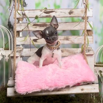 Chihuahua sitzen auf einem rosenkissen, in der pastoralen dekoration