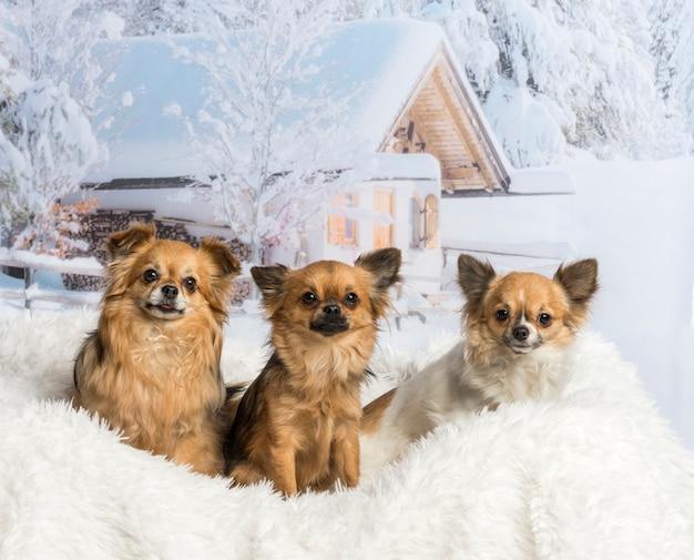 Chihuahua sitzen in der winterszene auf weißem teppich