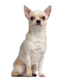 Chihuahua, sitzend und aufblickend, isoliert auf weiß