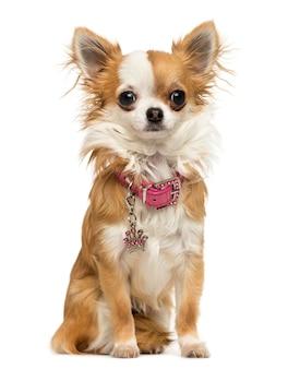 Chihuahua trägt einen glänzenden kragen, der isoliert auf weiß sitzt