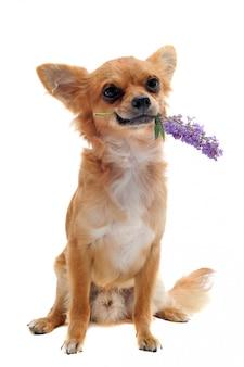 Chihuahua und blume