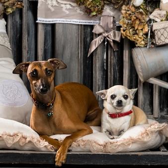 Chihuahua und italienischer windhund vor einer rustikalen wand