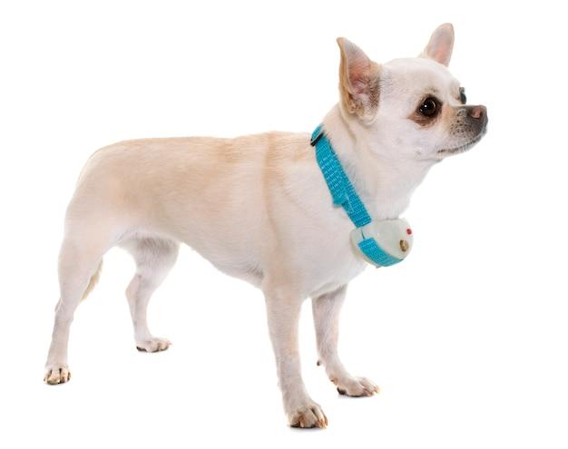 Chihuahua und schlagkragen