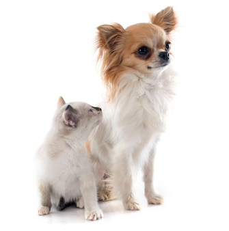 Chihuahua und siamesisches kätzchen