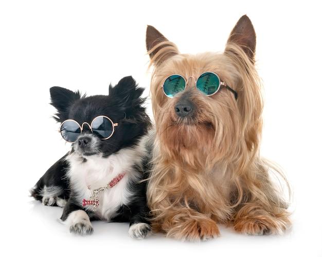 Chihuahua und yorkshire