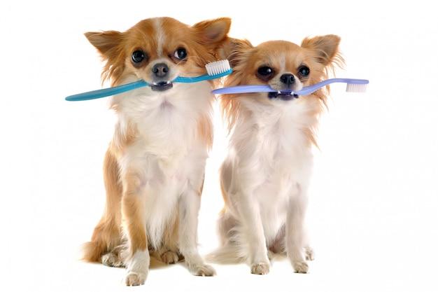 Chihuahua und zahnbürste