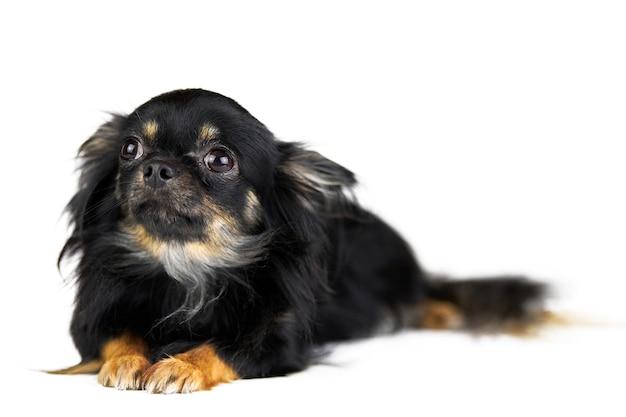 Chihuahua welpe auf weißem lokalisiertem hintergrund.