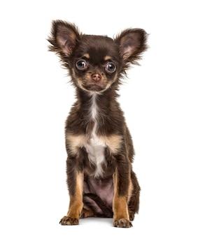 Chihuahua welpensitzen, lokalisiert auf weiß