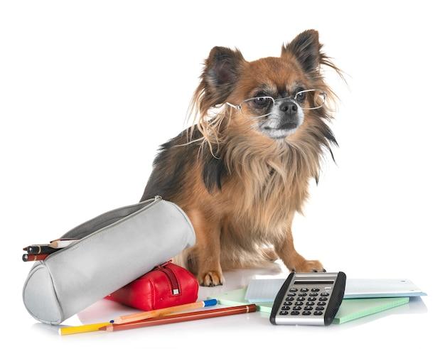 Chihuahua zur schule