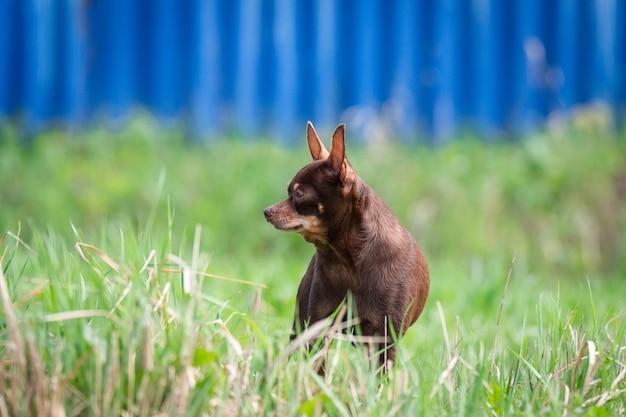 Chihuahuahund auf dem gras