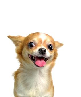 Chihuahuahund, ein brauner mann