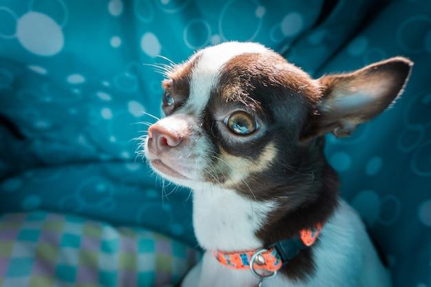 Chihuahuahund im bett