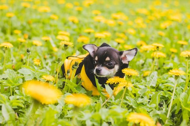 Chihuahuahund im löwenzahn.