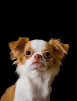Chihuahuahund mit dem braunen haar auf einem schwarzen hintergrund