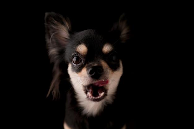 Chihuahuahundestudioporträt des schwarzen haares auf schwarzem hintergrund
