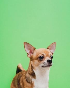 Chihuahuaporträt auf grünem hintergrund