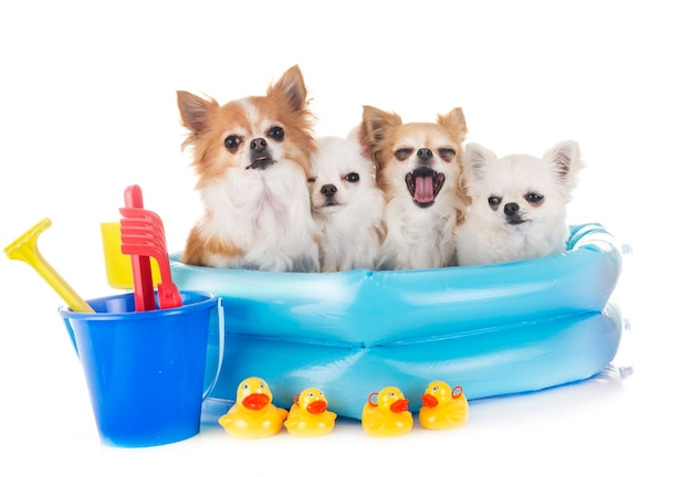 Chihuahuas in den ferien