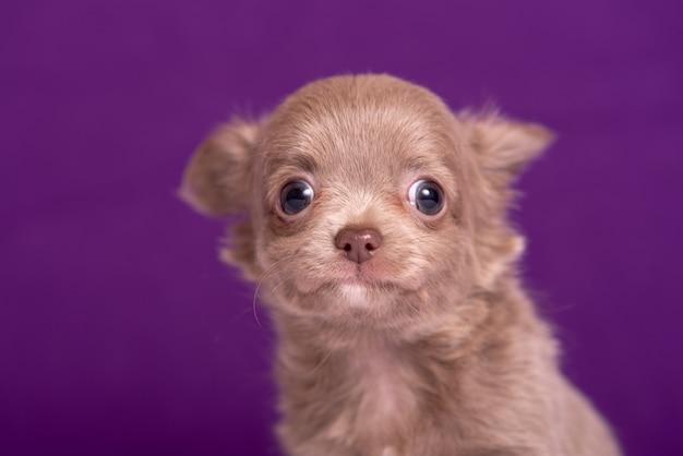 Chihuahuawelpe auf purpur