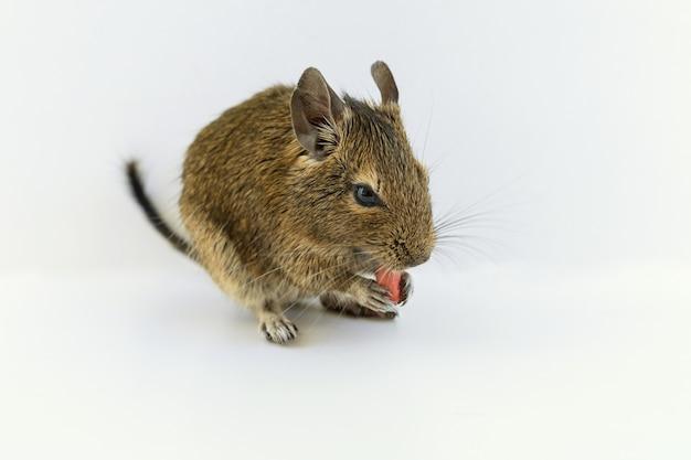 Chilenisches eichhörnchen degu, das erdnussnuss isst