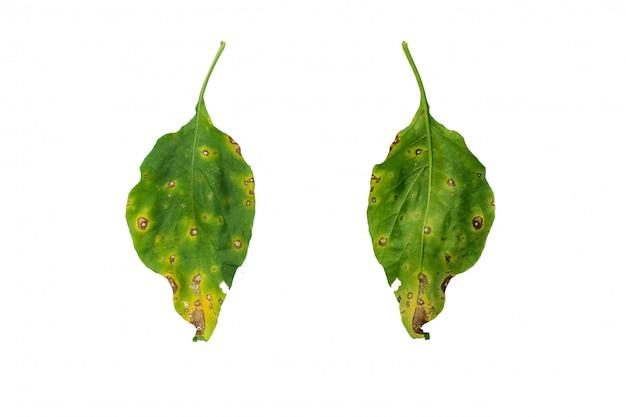 Chili-blätter sind eine seuchenerkrankung. ursachen durch schimmel und bakterien, die verbrennungen verursachen.