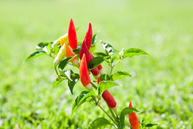 Chili hot peppers pflanze in rot und orange