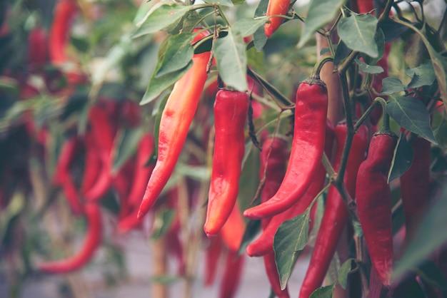 Chili in der handlung drückte frei von chemikalien.
