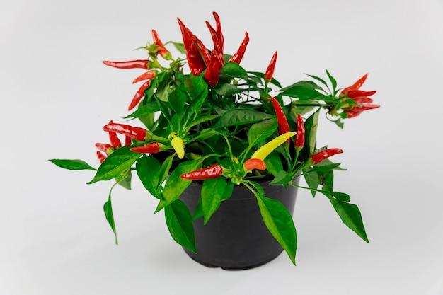 Chili-paprika-pflanze im topf lokalisiert auf weiß.