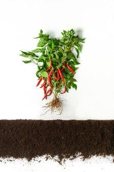 Chili-pfeffer über dem boden, querschnitt, ausgeschnittene collage. gesunde gemüsepflanze mit blättern isoliert. landwirtschafts-, botanik- und landwirtschaftskonzept
