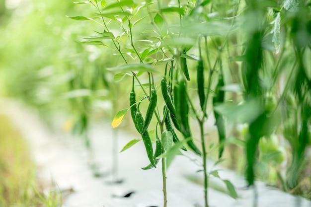 Chilischoten im garten bio-lebensmittel aus eigenem anbau