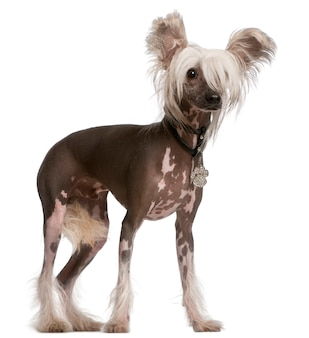 Chinese crested dog, 10 monate alt, stehend