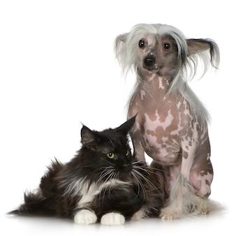 Chinese crested dog - haarloser und maine coon