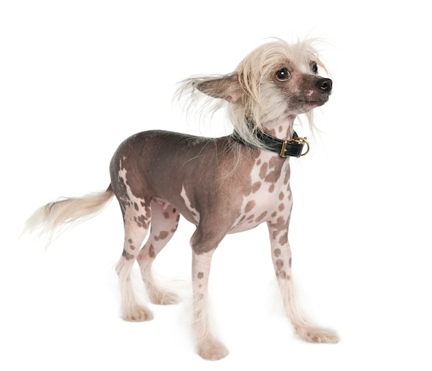 Chinese crested dog - haarloses hundeporträt isoliert