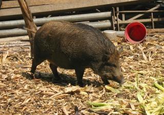 Chinesische schwarze schwein
